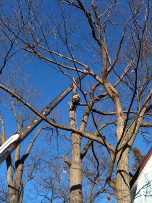 Some tree or limb removals require a crane. Rooted Tree Services has all the equipment and expertise to efficiently and quickly handle crane removals in-house.