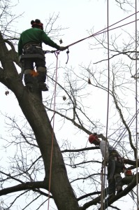Two climbers safely removing a tree limb.